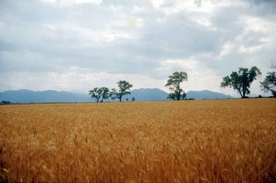 Photography Wheat fields and Mountains