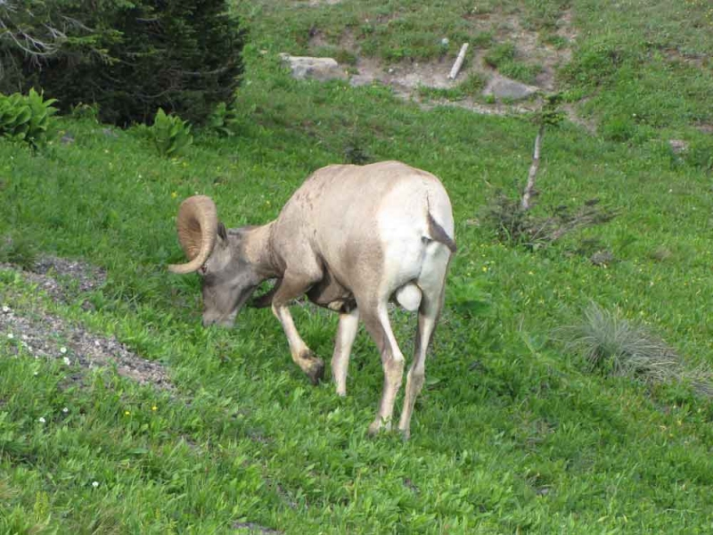 Photography Ram in Glacier NP MT