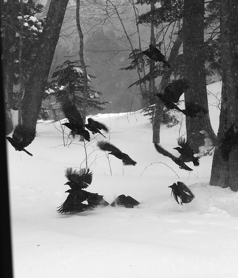 Photographs Crows in Flight