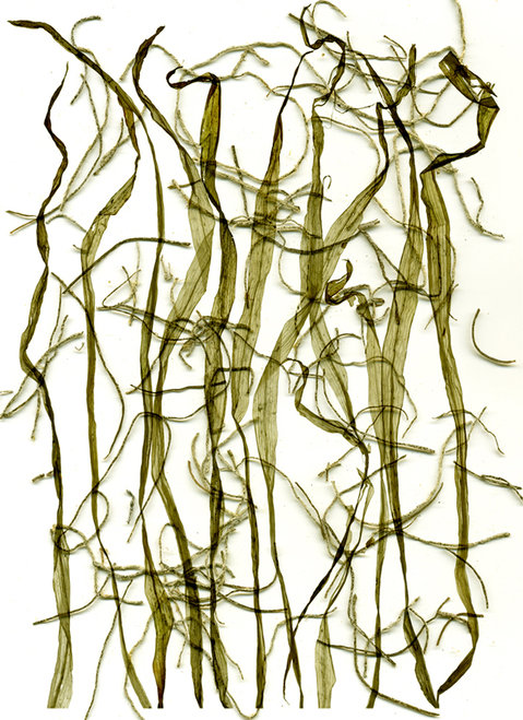 "Digital Prints Leaf lines, 2011, Framed Archival Digital Prints on Paper & Plexiglas, 23"" x 17"""