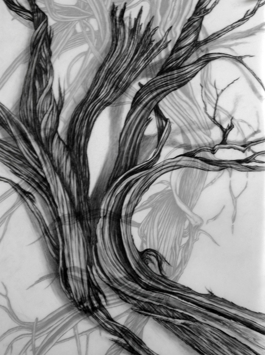 Cristina de Gennaro Sage Drawings Charcoal and graphite on mylar.