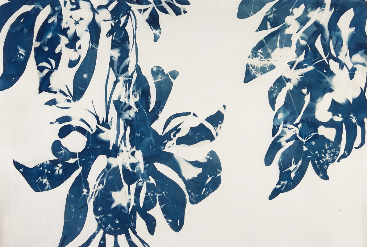 Cynthia MacCollum Umbra cyanotype