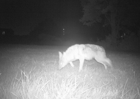 Nights of Coyote and Cake, 2013 Coyote (III)