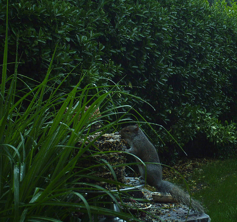 Squirrel (III)
