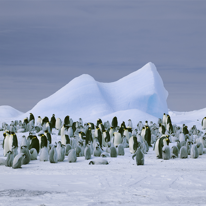 NORTH/SOUTH Emperor Penguins,  Snow Hill Island, Antarctica, 2008