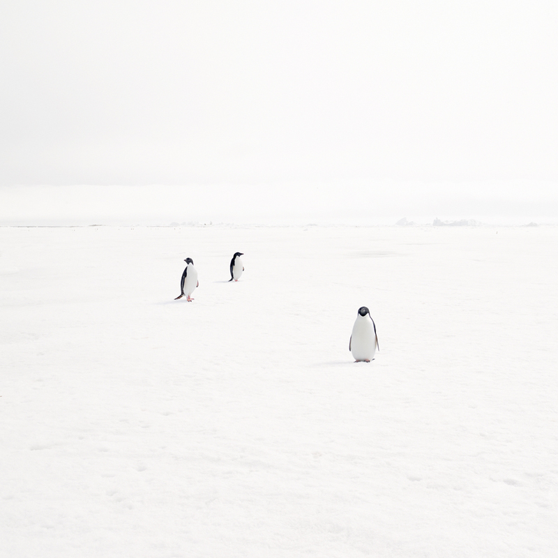 NORTH/SOUTH Adeli Penguins on Fast Ice, Antarctica, 2007