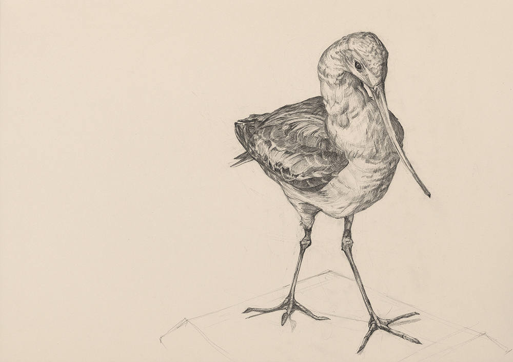 Gina Siepel Audubon's Birds graphite on paper