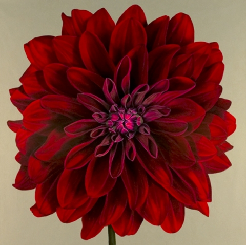 Archive Red Dahlia