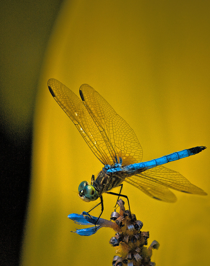 Landscapes Gallery Electric Blue Dragonfly  ©