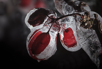 Berries in Ice  ©