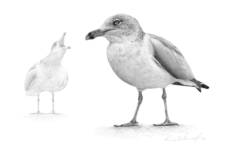 KARIE O'DONNELL Graphites Ring-billed Gull