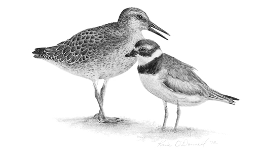 KARIE O'DONNELL Graphites Sandpiper & Semipalmated Plover