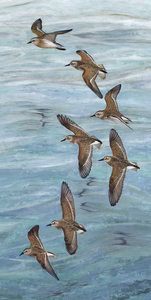 KARIE O'DONNELL Oils Semipalmated Sandpiper