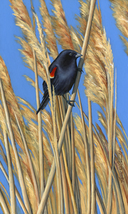 KARIE O'DONNELL Oils Red-winged Blackbird