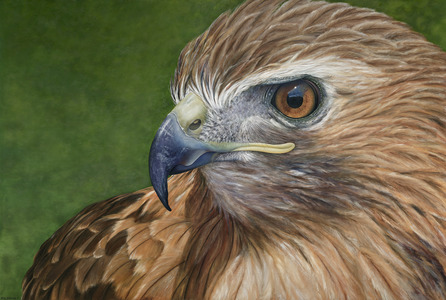 Karie O'Donnell Oils Red-tailed Hawk