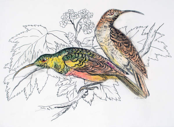 Birds Hummingbirds