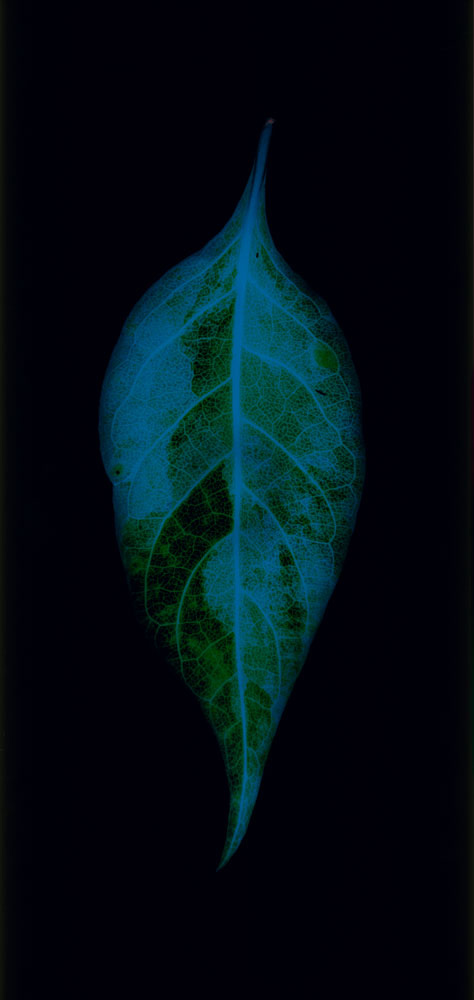 Stand-Alones Blue Leaf