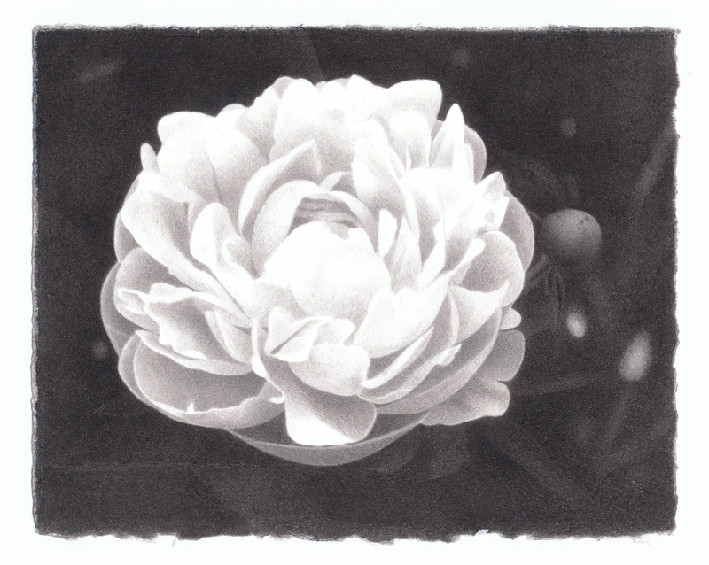 marden peonies India ink on paper