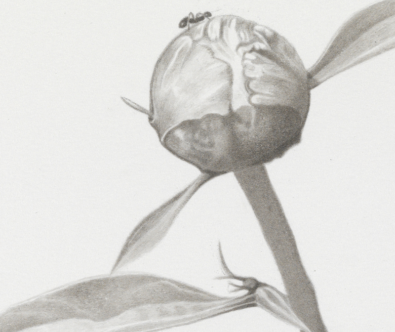marden peonies Ink, graphite on paper