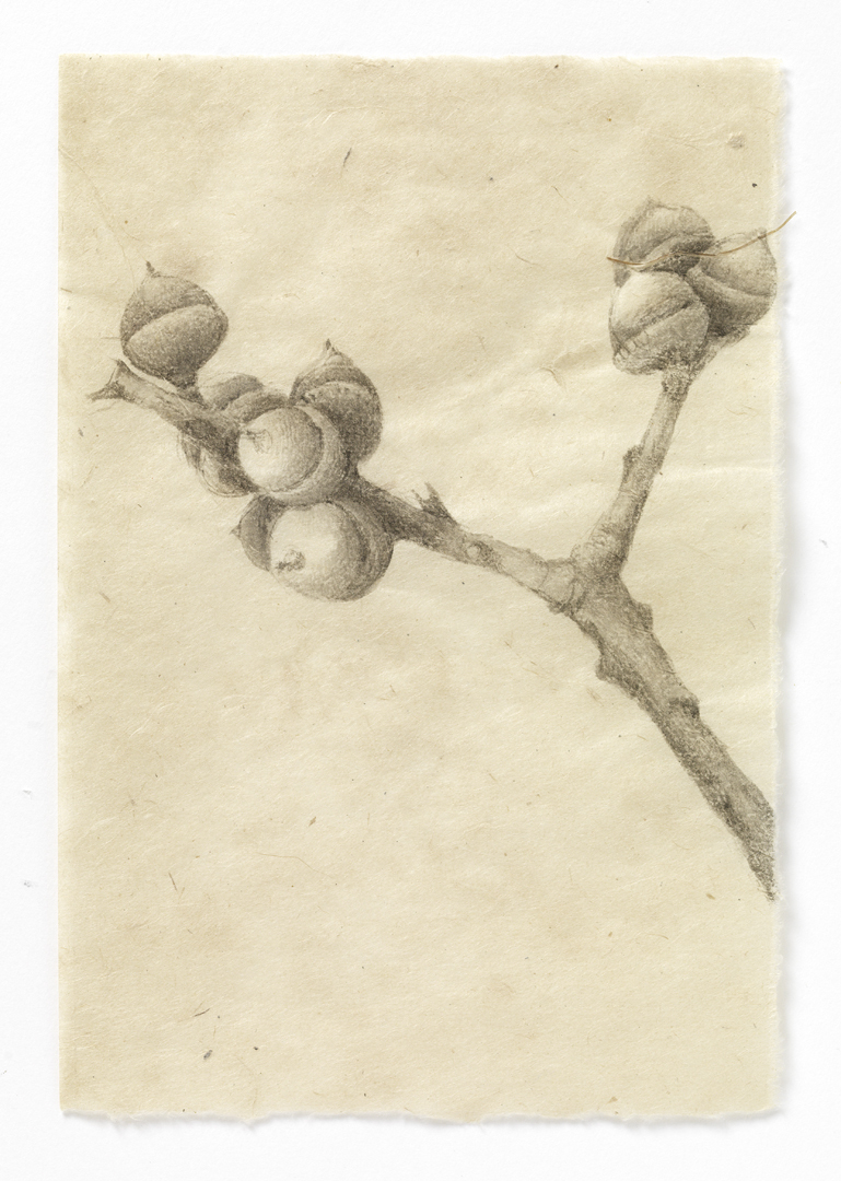 drawn from life Maine Acorns (stem #1)