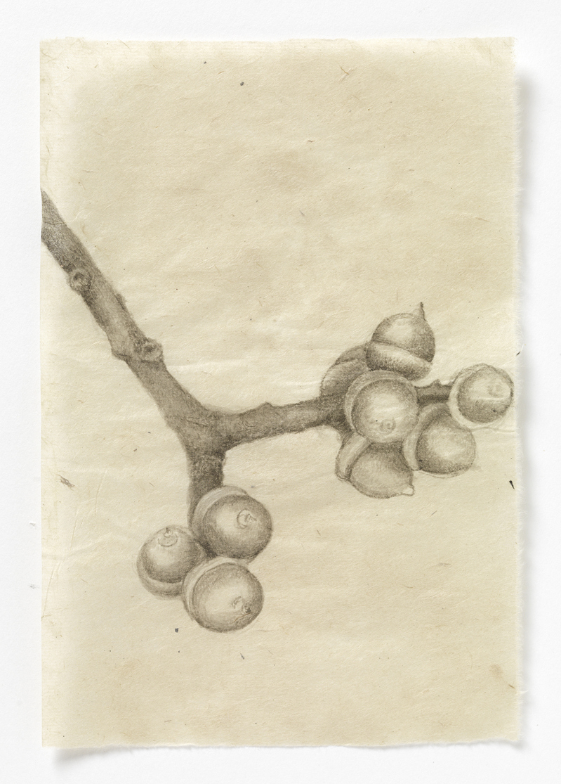 Drawn From Life Maine Acorns (stem #3)
