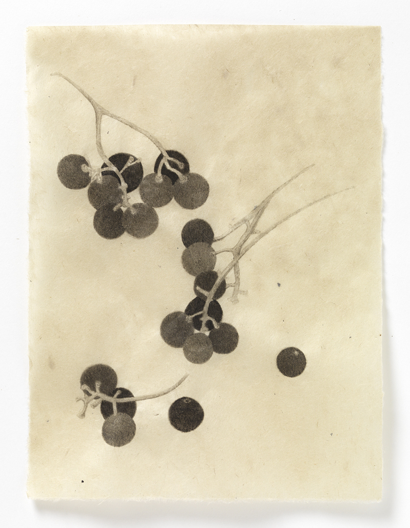 Drawn From Life Concord Grapes (grouping #3)