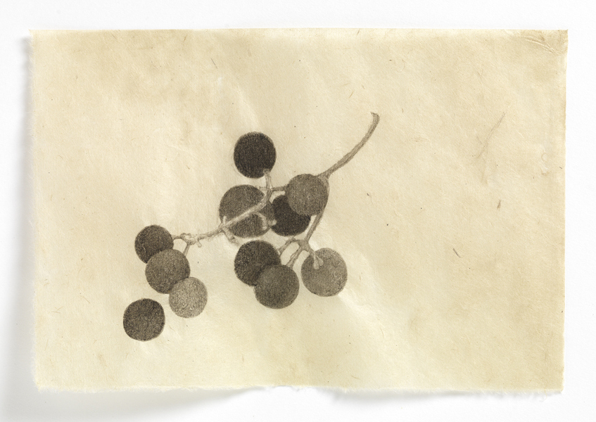 drawn from life Concord Grapes (grouping #1)