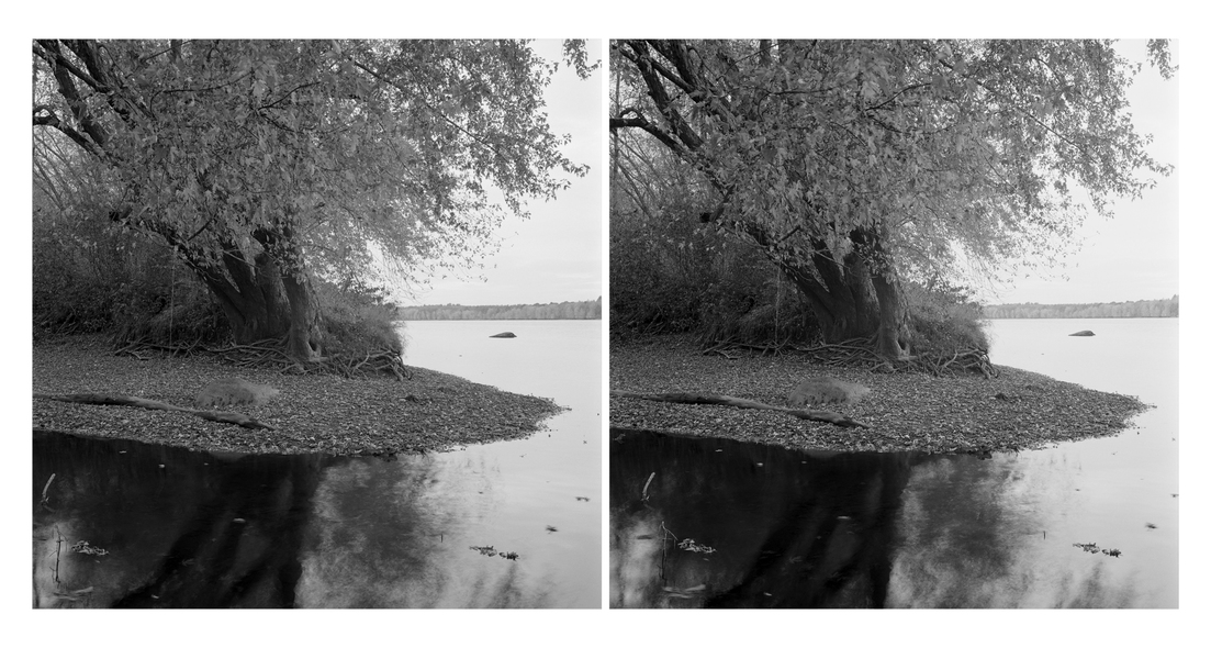Stereo Pairs Tree at Mouth of Creek, Durham River Park, Androscoggin River (ME)