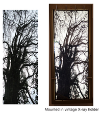 Nicola Woods Arbor Vitae series, beautiful illuminated photographs of trees, 2015 Backlit Fuji Trans