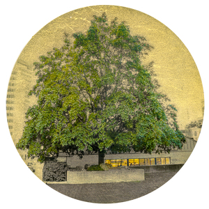 Nicola Woods The Trees Amongst Us  - new tree portraits on radiant metal leaf for sale ink jet print on acetate, mounted on wood round , composition Gold leaf