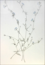PAT CRESSON + Drawing > Botanical Drawings graphite on rag paper