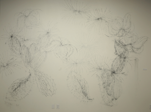 Rachel Breen Common Milkweed, (Asclepias syriaca L.) Charcoal on the wall