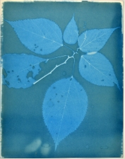 Ramsay Barnes Invasive / Poison : Maryland Invasive and Poisonous plant series Cyanotype on hamdmade paper