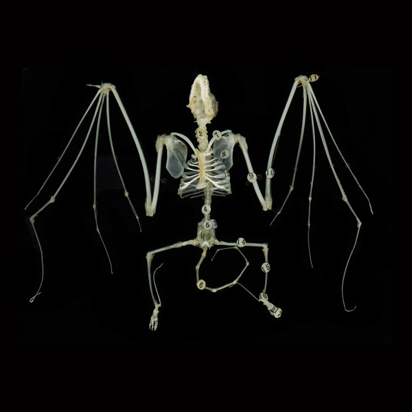 Taxonomy Bat Skeleton