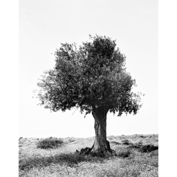 <b>Facts on the Ground</b> Olive Tree #1, Occupied Territories