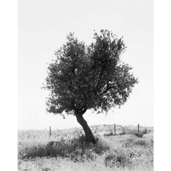 <b>Facts on the Ground</b> Olive Tree #7, Occupied Territories
