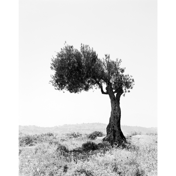 <b>Facts on the Ground</b> Olive Tree #9, Occupied Territories