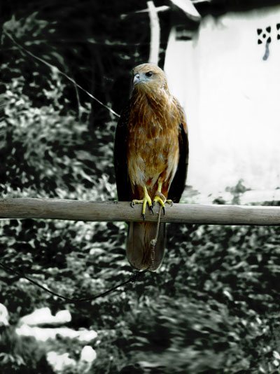 Miscellaneous Photographs Chained Eagle