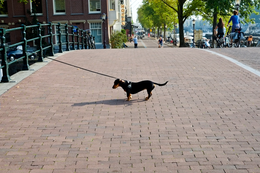 The Daily Drip Reluctant Dog, Amsterdam
