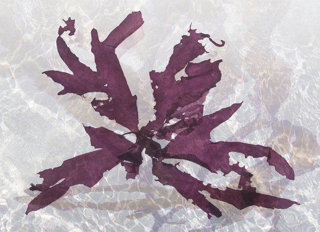 "Digital Prints Cape kelp, 2011, Framed Archival Digital Prints on Paper & Plexiglas, 23"" x 17"""