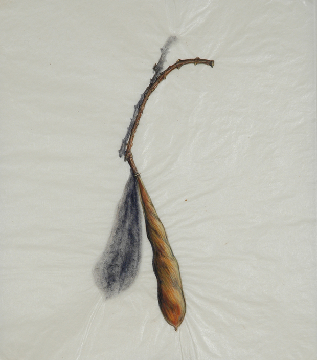 Cristina de Gennaro Wisteria Seed Pod Paintings Gouache on Japanese gampi paper.