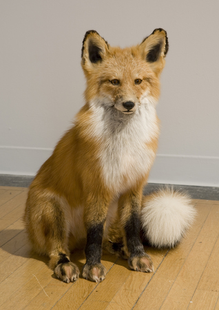 Daniel A Bruce The Great Indoors red fox