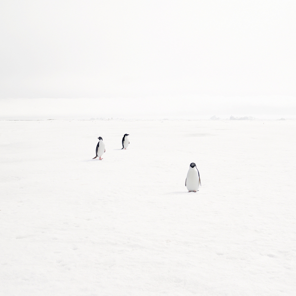 Adeli Penguins on Fast Ice, Antarctica, 2007