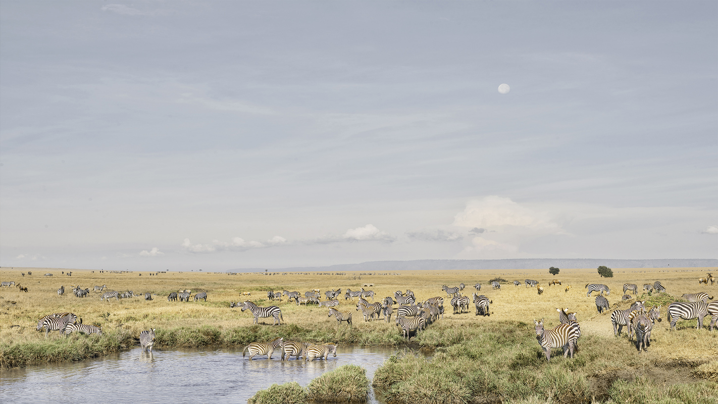 "Africa 2019 ""Before Ever After"" Zebras at Watering Hole, Maasai Mara, Kenya"