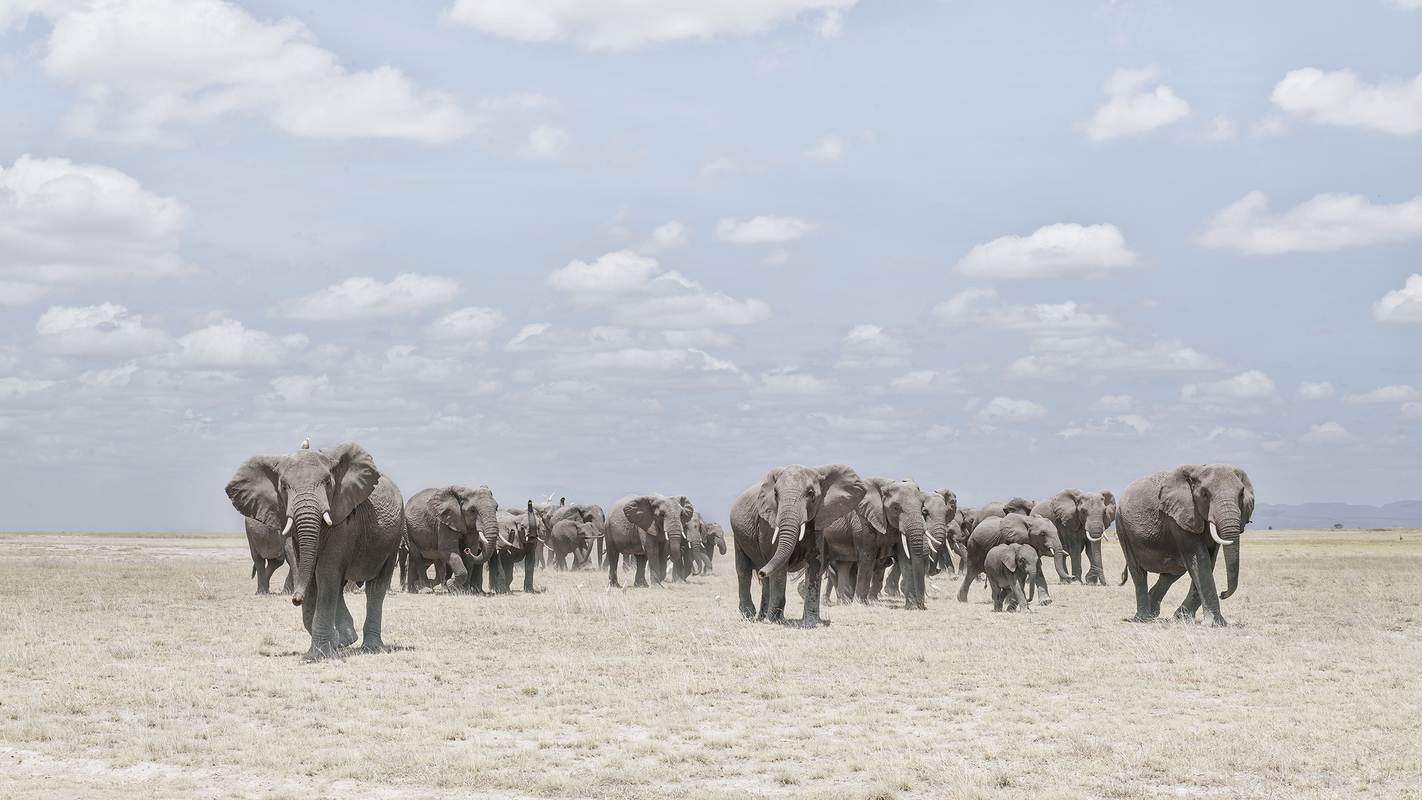 "Africa 2019 ""Before Ever After"" Elephants  Crossing Dusty Plain, Amboseli, Kenya"