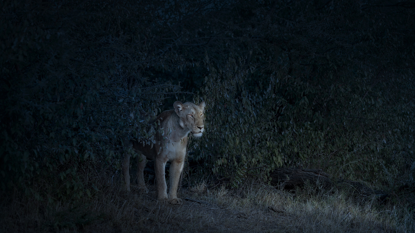 "Africa 2019 ""Before Ever After"" Nocturne (Lioness), Maasai Mara, Kenya"