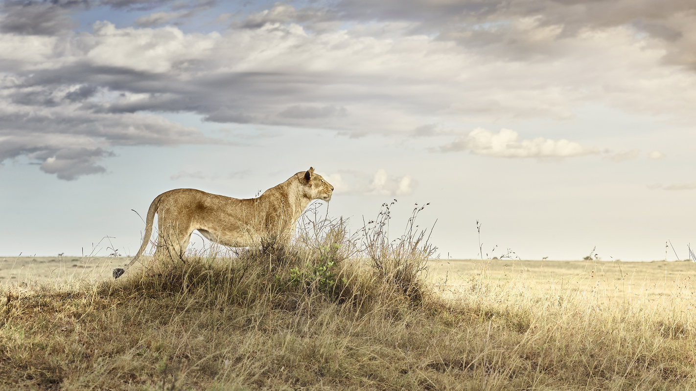 "Africa 2019 ""Before Ever After"" Lioness in Repose, Maasai Mara, Kenya"