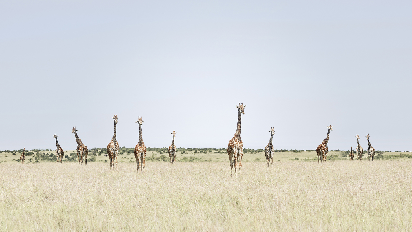 "Africa 2019 ""Before Ever After"" Twelve Giraffes, Maasai Mara, Kenya"