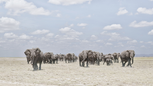 Elephants  Crossing Dusty Plain, Amboseli, Kenya
