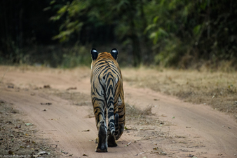 James Kobacker India Wildlife